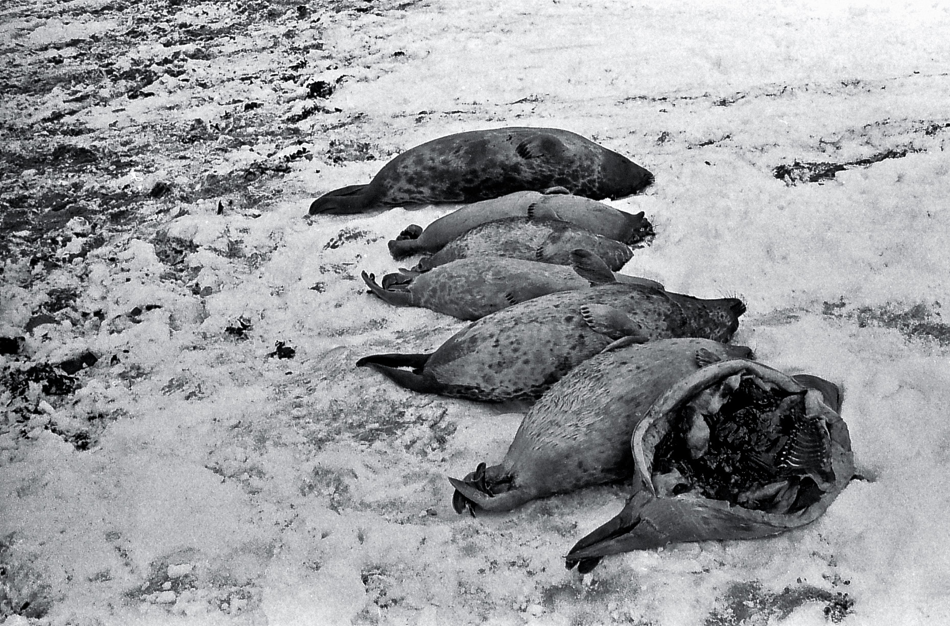 18-Fresh-seal-Hunt,-Cape-Dorset-Canadian-Arctic-